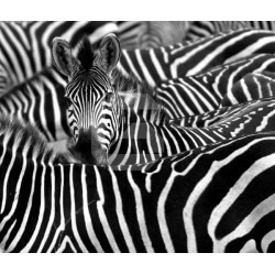 Mural de parede zebras